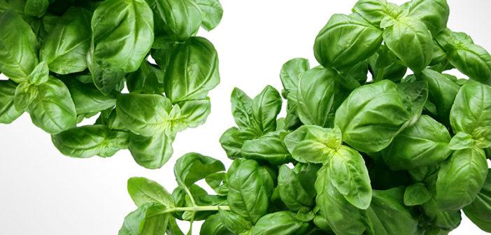 Adaptogení byliny používané pro zotavení z chronické a adrenální únavy
