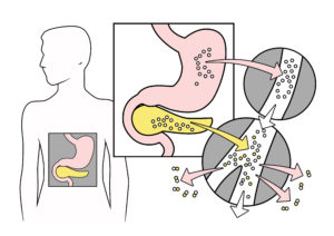 Enzymy a pepsin