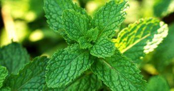 Kouzelná pilulka pro střevní záněty - enterosolventní peprmintový olej