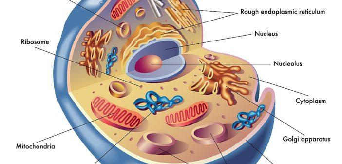 Regenerace mitochondrií, část I: Dysfunkce, výživa a stárnutí